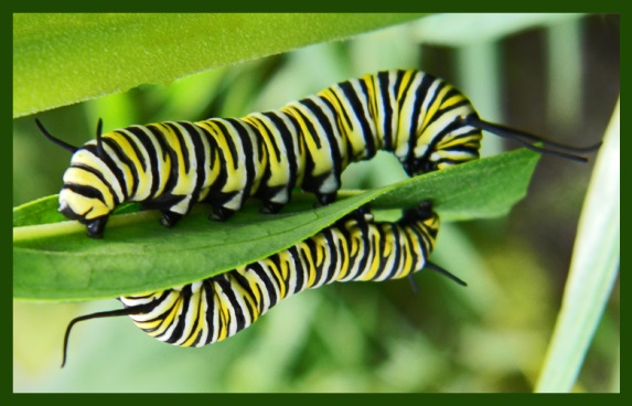 IBBA Nuclear Polyhedrosis Virus Healthy Caterpillars