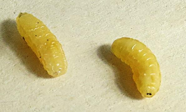 IBBA Tachinid Fly Larva