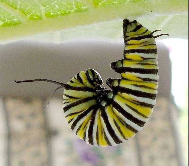 IBBA Monarch Caterpillar in J