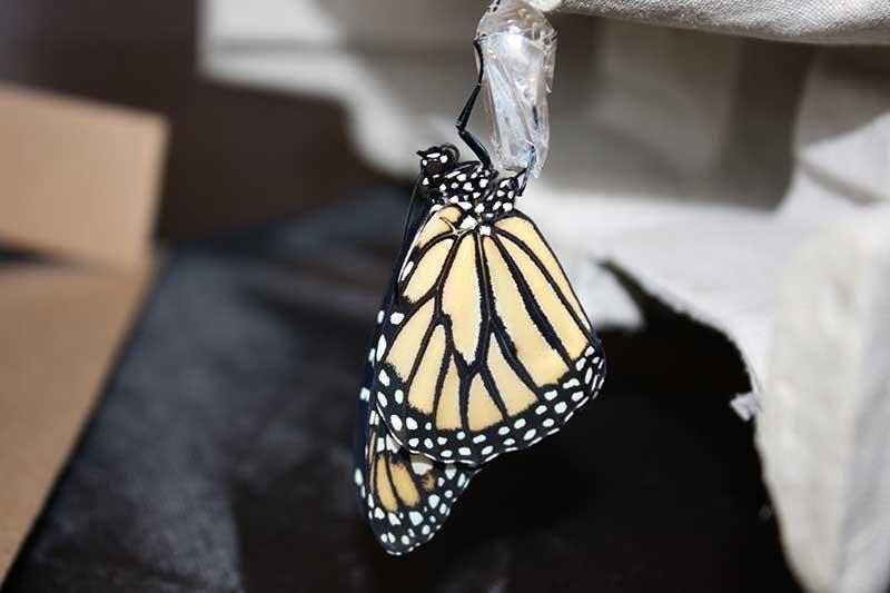 International Butterfly Breeders Association