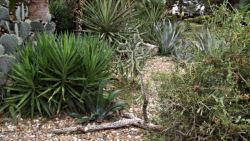 Alamo cactus garden 3 th